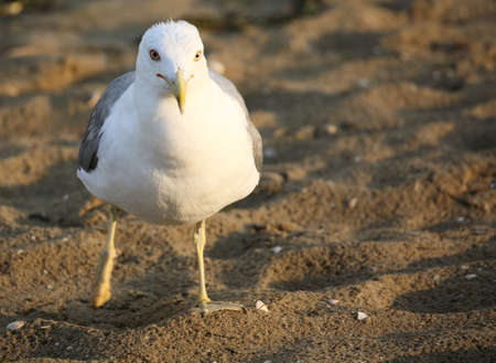 seagull with white and gray feathers on the beach