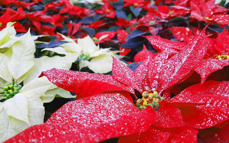 white and red leaves of poinsettia plant also called Christmas Stars