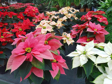 many Christmas stars also called Poinsettia for sale in the greenhouse to decorate the house 스톡 콘텐츠 - 116436401