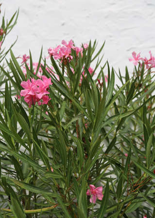 oleander plant with pink flowers in spring Stock Photo