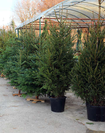 outdoor greenhouse with the sale of many green fir trees to make Christmas trees