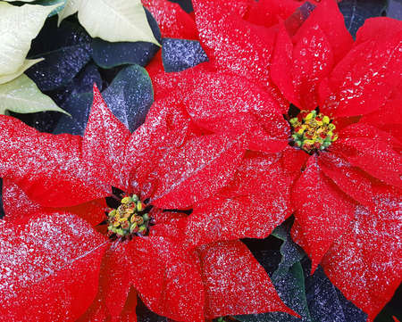Big red leaves of poinsettia plants also called Christmas Star with glitter