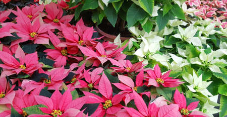 background of poinsettia foliage the typical plant of Christmas Фото со стока