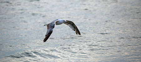 free seagull with big wings flies carefree over the sea water