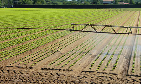 automatic irrigation system in the field with fresh shoots of tender lettuce in the summer in the plain