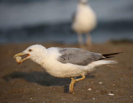 big seagull eats a piece of bread on the sandy beach