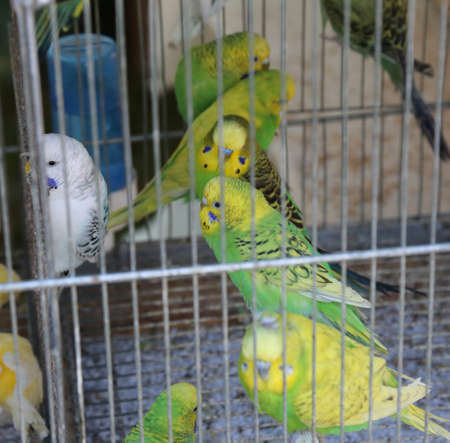 many green and yellow parrots in a cage in a pet shop