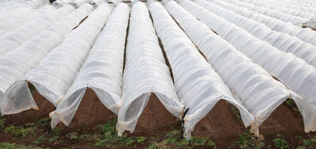long greenhouses for the intensive cultivation of vegetables even during the winter
