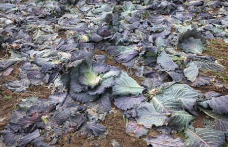 field with rotten cabbage leaves after harvest of vegetable in the field in winter in Po VAlley in Italy