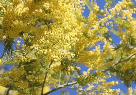 tanti fiori gialli di mimosa sbocciati in primavera e nel cielo azzurro Archivio Fotografico