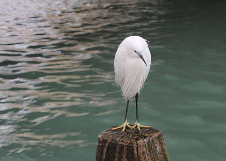 white little egret called Egretta garzetta is a species of small heron in the family Ardeidae with long black legs