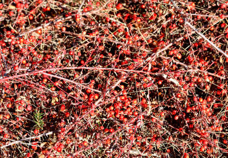 background of many red small berries