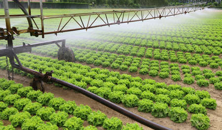 automatic irrigation system of a cultivated field of lettuce in summer