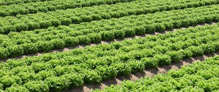 intensive cultivation of lettuce in fertile sandy soil Stok Fotoğraf