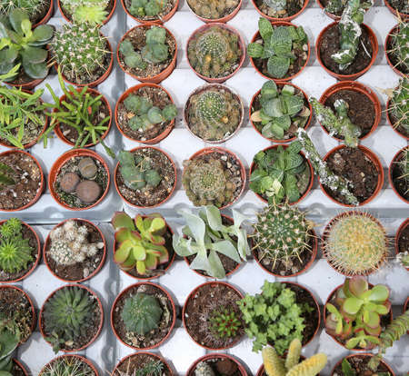 cactus plants for sale in the greenhouse