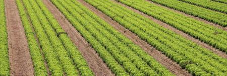 lettuce field in an intensive farming plantation