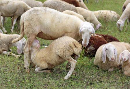 Mutterschaf füttert ihr Lamm inmitten der Herde Standard-Bild