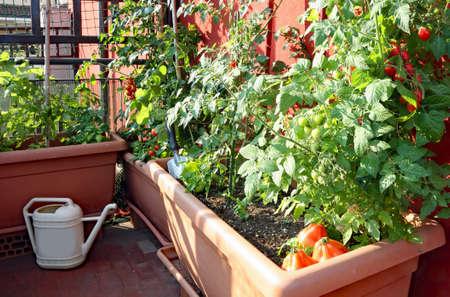 teelt van rode kleine tomaten in de potten van een stadstuin op het terras van een appartement Stockfoto