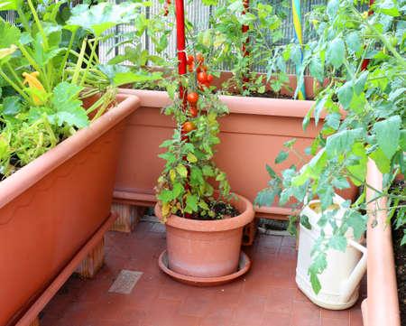 Planta en maceta con tomates rojos en un pequeño huerto urbano en el apartamento con terraza Foto de archivo