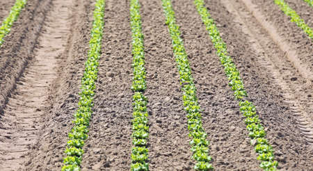 large cultivated field of fresh green lettuce with the sandy soil