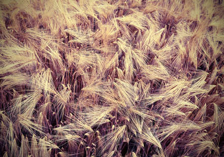 ripe golden ears of wheat grown in the field with old toned effect