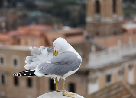big gull scratches his back with yellow beak because it has itch under the feathers in the European city