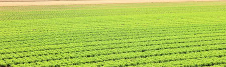 large cultivated field of fresh green lettuce with the sandy soil that facilitates the absorption of water without stagnation