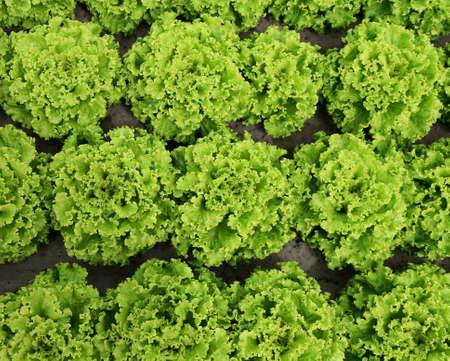 background of green of lettuce in the field of farmer Zdjęcie Seryjne - 121873376