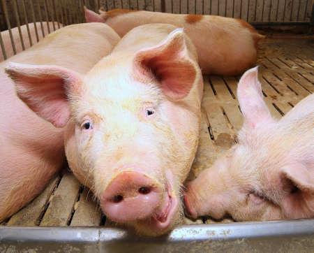 Hocico de un cerdo rosado gordo en la pocilga de una granja Foto de archivo