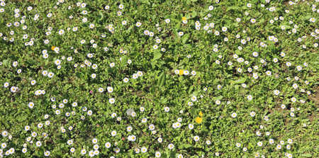 daisies blooming on a green meadow in the early spring