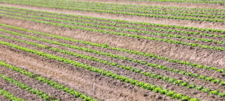 wide cultivated field of green lettuce with the sandy soil that facilitates the absorption of water without stagnation