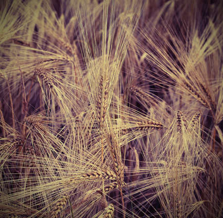 yellow ears of wheat grown in the field with old toned effect