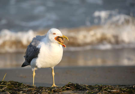 bird seagull in summer by the Mediterranean seaon the beach with opened beak Stock Photo