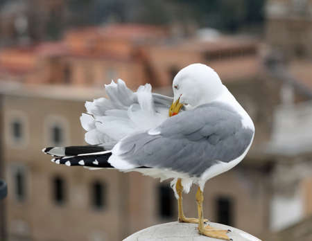 gull scratches his back with yellow beak because it has itch under the feathers 免版税图像