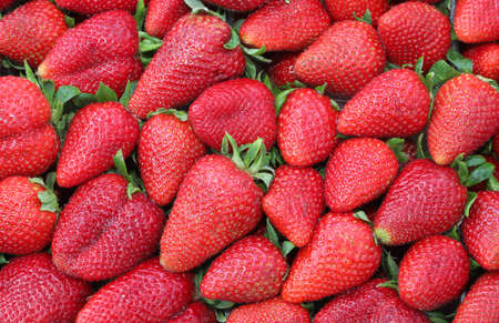 red background of many ripe strawberries just harvested in spring