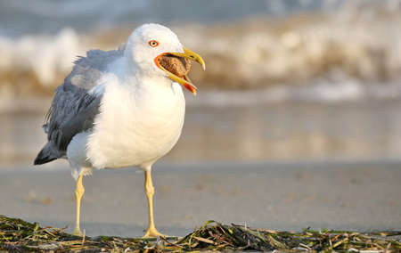 seagull on the beach with opened beak with bread inside