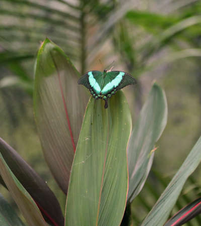 butterfly with green wings camouflages itself by resting on the leaf of a plant