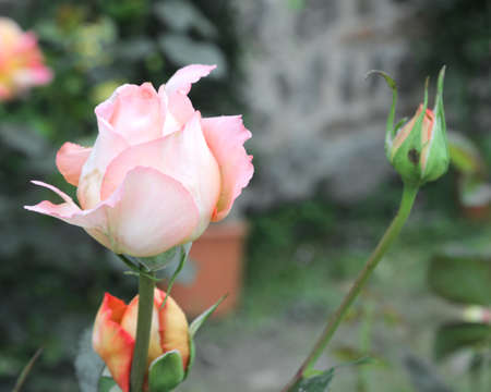 delicate pink roses in spring and a small bud Imagens