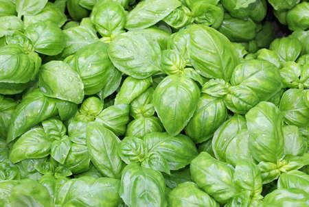 many fresh leaves of basil a typical  culinary herbal of Mediterranean Region 写真素材 - 122097027