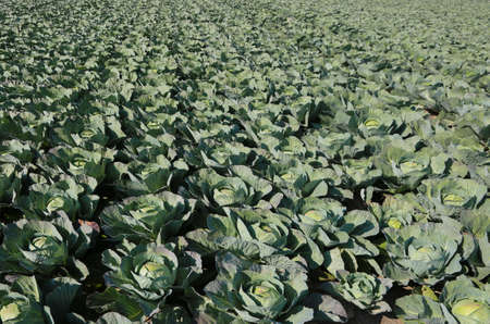 green cabbages in a very fertile field with sandy soil