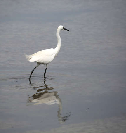 young white little egret on the water of pond