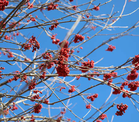 red berries of sorbus aucuparia in winter called Sorbo dell uccellatore in Italian Language