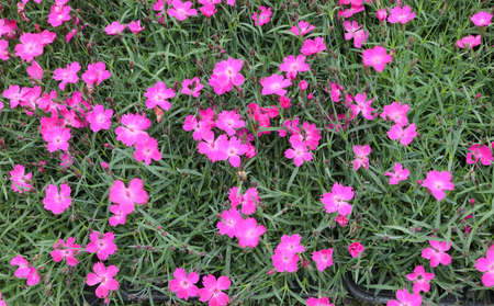 background of small flowers called Kaori or Dianthus or Kahori