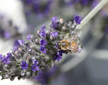 big bee sucks a flower of lavender Banco de Imagens