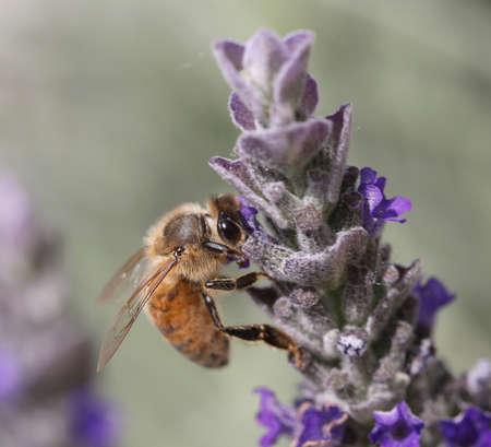 big bee sucks a flower of lavender Stock Photo
