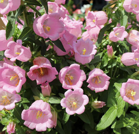 background of pink flowers called Bell flowers or campanula in spring