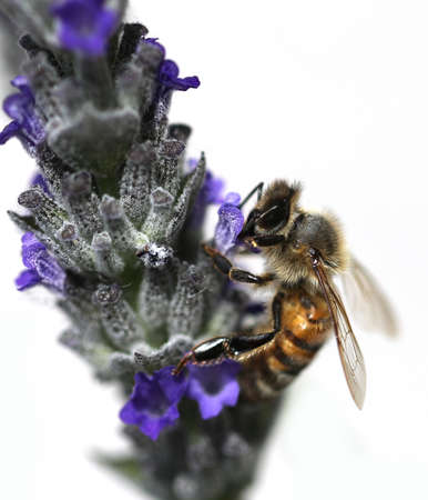 big bee sucks a lavender flower