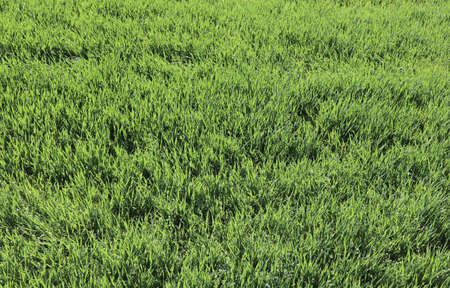 Background of small green wheat plants in the field during maturation in the spring