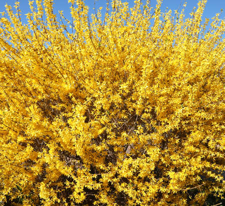 lush plant with thousands of yellow Forsythia flowers in spring