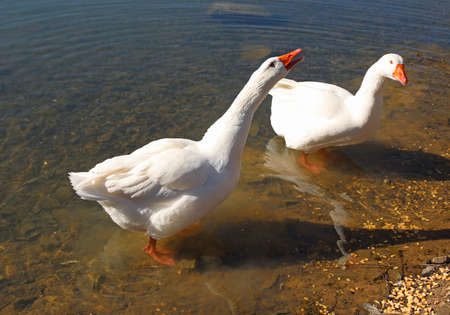 two white geese squawking on the shoreof a pond